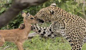 तस्वीरें : मादा चीता ने हिरण के बच्चे को मां की तरह किया दुलार, भरोसा जीतकर मार डाला