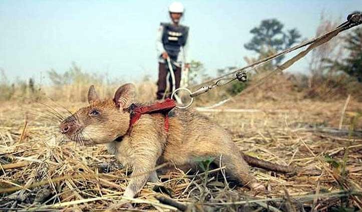 चूहे हैं यहां के Hero, जानिए कैसे बचा रहे लोगों की जान