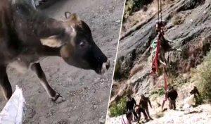 JCB की मदद से बाहर निकाली 100 फीट नीचे गिरी गाय, नहीं देता दिखाई