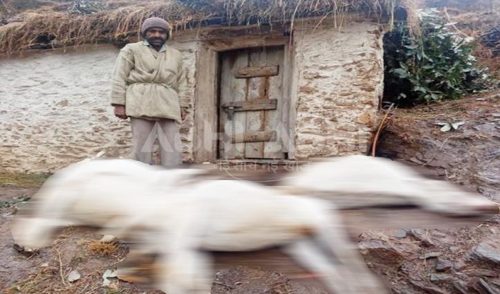तेंदुए ने गौशाला में घुसकर 10 बकरियों को मारा, खौफ में पशुपालक