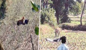 वीडियो: बाघ से बचने के लिए शख्स ने किया मरा होने का नाटक, बच गया