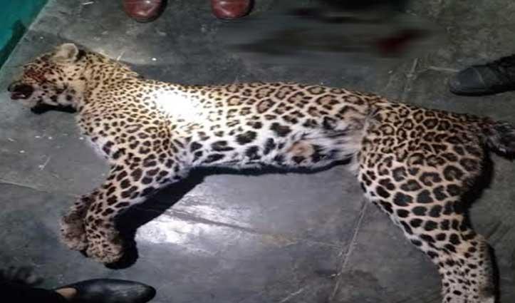 पहले तेंदुए के बच्चे ने जंगल में महिला पर किया हमला, फिर रसोई में घुसा