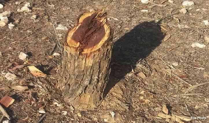 ऊना में टक्का के जंगलों में काट डाले खैर के पेड़