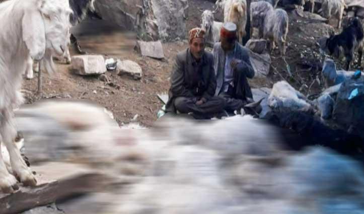 गड़सा घाटी में जहरीला घास खाने से 62 भेड़-बकरियों की मौत, 20 का चल रहा इलाज