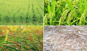 अब दोगुनी महक और पैदावार वाली बासमती उगाएंगे Himachal समेत इन राज्यों के किसान