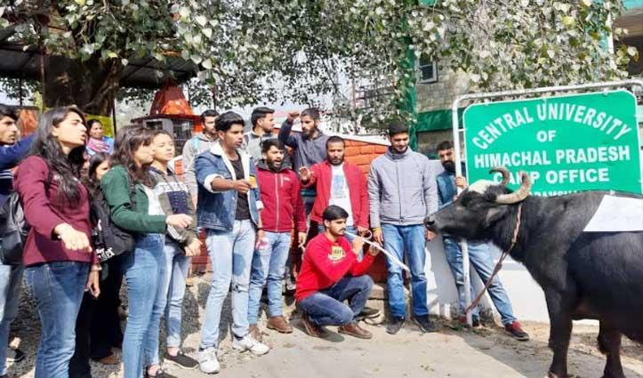 ABVP कार्यकर्ताओं ने CU कुलपति ऑफिस के बाहर भैंस के आगे बजाई बीन