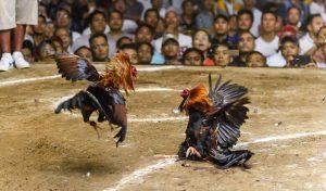 दो मुर्गों की Fight में मालिक ने धोए जिंदगी से हाथ, जानें हैरान कर देने वाला मामला