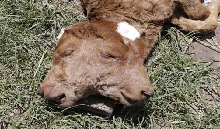 गाय ने दिया दो मुंह वाले बछड़े को जन्म, दूर-दूर से देखने आ रहे लोग
