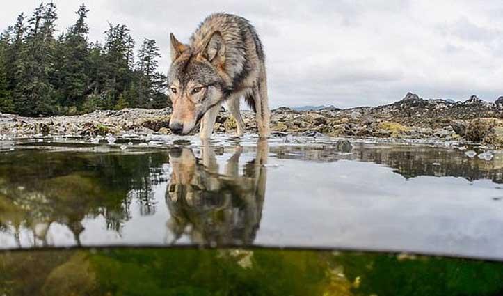 साथी की तलाश में लुप्तप्राय मादा भेड़िया ने की 14000 Km की यात्रा; हुई मौत