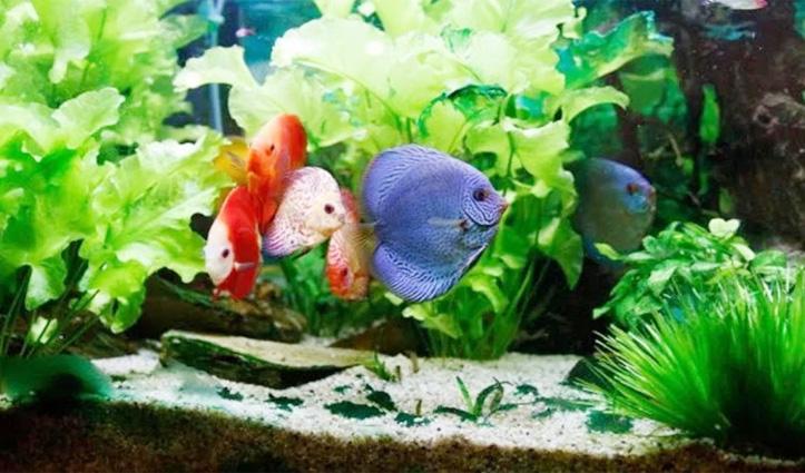 फिश एक्वेरियम ऐसे बदलेगा जिंदगी, जानिए कितनी और किस रंग की मछलियां रखना है शुभ
