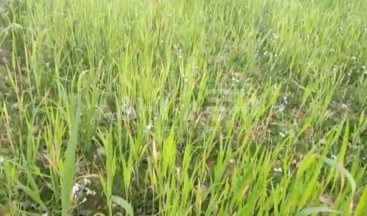 गेहूं की फसल पर पीले रतुए का कहर, Farmers हुए परेशान