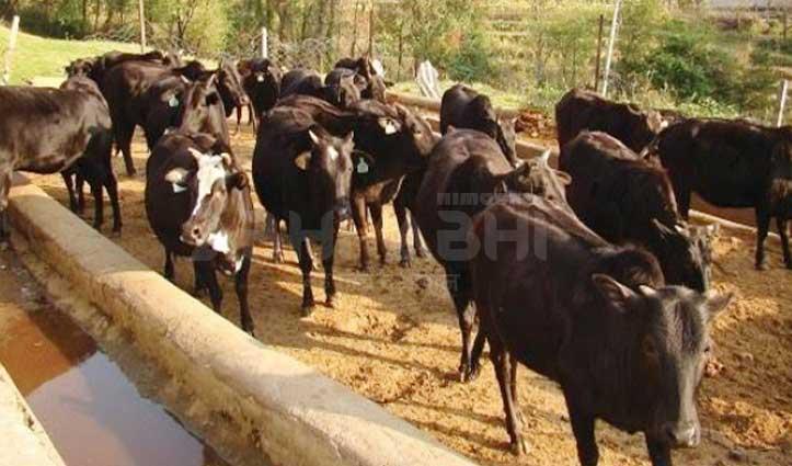 हिमाचल की 'Himachali Pahari' गाय को राष्ट्रीय स्तर पर मिली पहचान