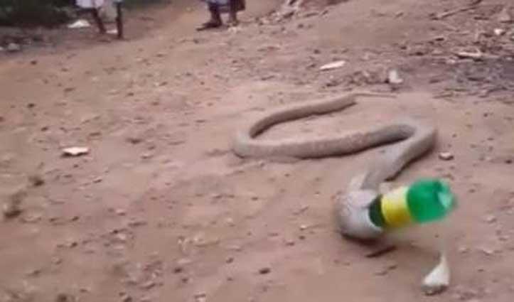 Video : शिकार समझकर कोबरा ने निगली बोतल, बनी जान पर आफ़त