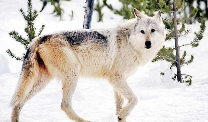 साथी की तलाश में 14 हजार किलोमीटर तक चली मादा भेड़िया, सफर का अंत हुआ कुछ ऐसा