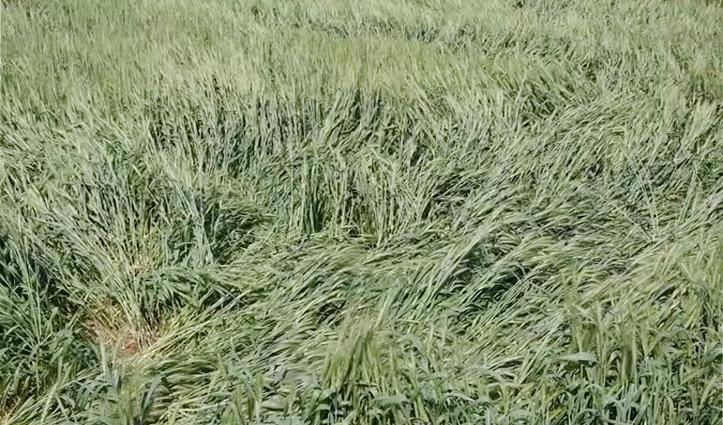 Una के किसानों पर मौसम की मार, बारिश ने धो डाले बंपर फसल के अरमान