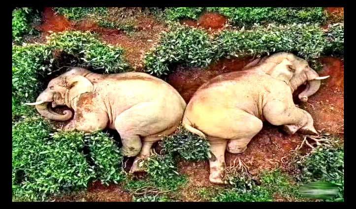 30 लीटर शराब पीकर चाय बागान में सो गए दो हाथी, Viral हुई तस्वीरें