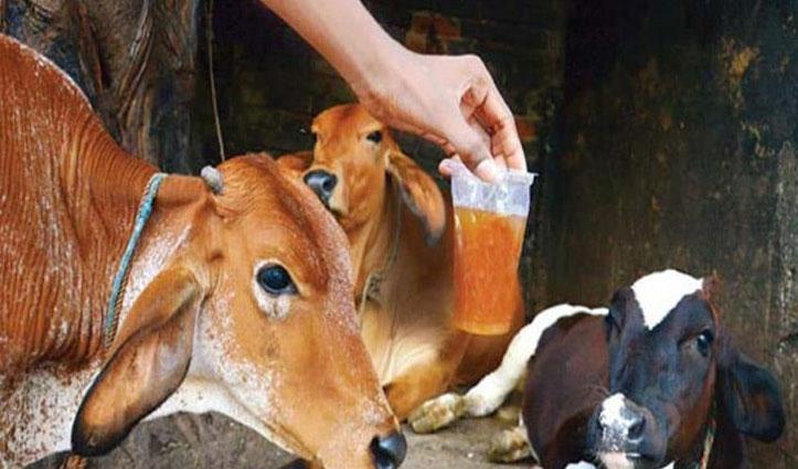 Coronavirus का असर : दूध से भी ज्यादा महंगा हुआ गौमूत्र