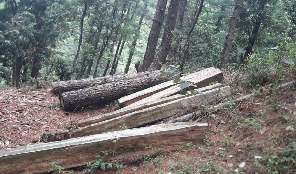 सराज देवदार कटान मामलाः जंगल में झांड़ियों में छिपाए लकड़ी के 62 नग बरामद