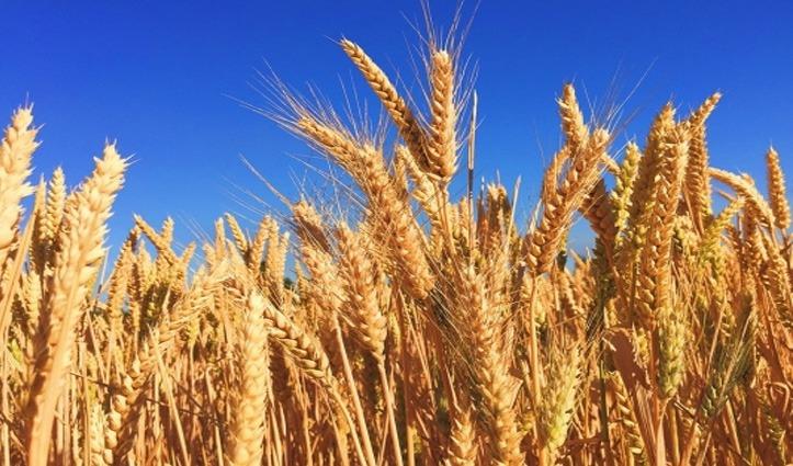 बड़ी खबरः कांगड़ा जिला में गेहूं कटाई को लेकर तिथियां तय, कहां कब शुरू होगा कार्य- जानिए