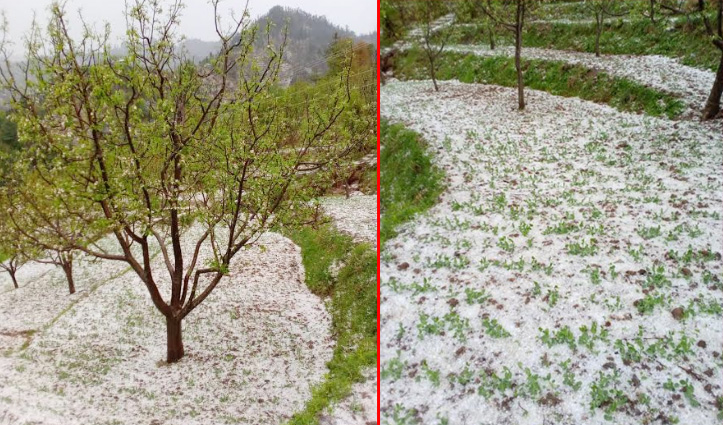 सराज घाटी में हुई भारी ओलावृष्टि, दर्जनों गांवों में Apple, मटर की फसल तबाह