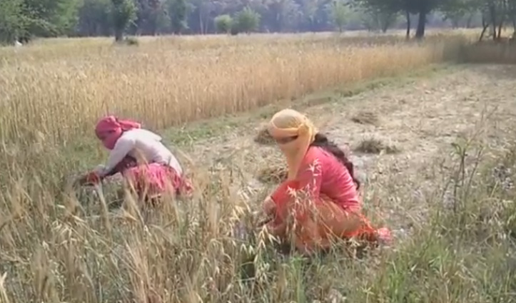 Corona ने बढ़ाई किसानों की चिंता, फसल कटाई को नहीं मिल रहे मजदूर-प्रशासन से लगाई गुहार