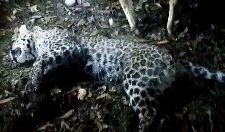 पशुओं को निवाला बनाने के इरादे से गौशाला में घुसा leopard खुद हुआ ढेर