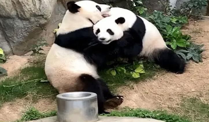 Covid-19 लॉकडाउन के बीच हॉन्ग-कॉन्ग के Zoo में दो पांडा ने 10 साल में पहली बार किया संभोग