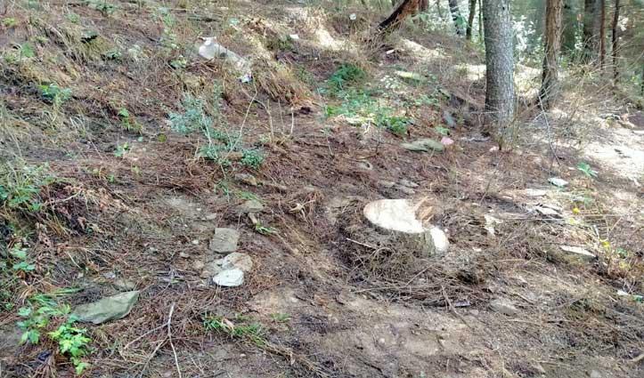 काढ़िधार के जंगल में तस्करों ने रात को काट डाले देवदार के पेड़