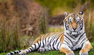 US के ज़ू में बाघिन को Covid-19 संक्रमण; संभवत: किसी टाइगर में दुनिया का पहला केस
