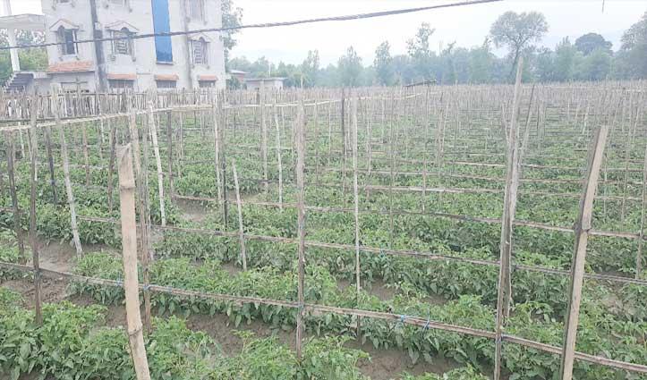 Lockdown ने बढ़ाई किसानों की मुश्किल, टमाटर समय पर नहीं बिके तो होगा करोड़ों का नुकसान