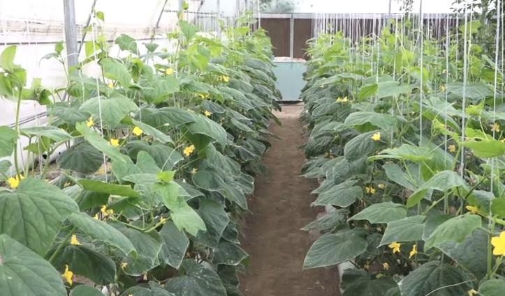 Una के किसान ने लॉकडाउन में हाइड्रोपोनिक तकनीक से उगाई फूल गोभी और ब्रॉकली