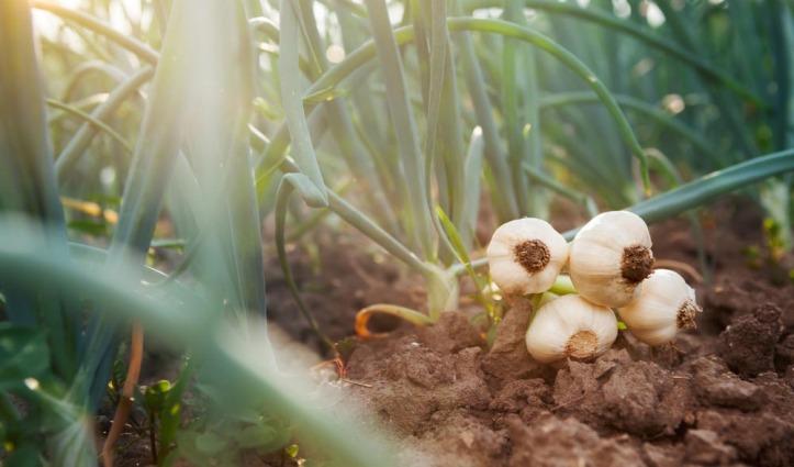Kullu में लहसुन की फसल तैयार पर इस बार किस कारण चिंता में है किसान