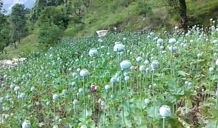 Kullu में पकड़ी अफीम की खेती, Bilaspur में नशीली गोलियों संग व्यक्ति धरा