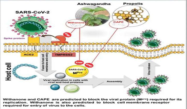 IIT दिल्ली का नया शोध: अश्वगंधा से Covid-19 का इलाज संभव, बन सकती है दवा