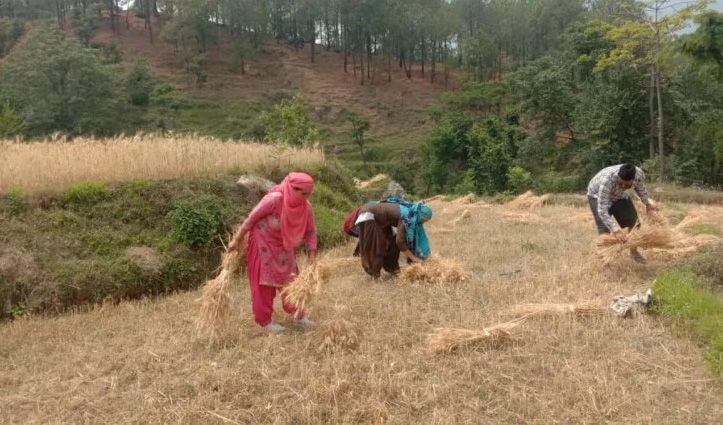 Mandi: कोरोना पीड़ित परिवार की बर्बाद हो रही गेहूं को गांव के लोगों ने पहुंचाया घर