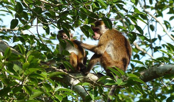 Corona के तीन सैंपल छीन ले गए बंदर,पेड़ पर चढ़कर जो किया वह है डराने वाला