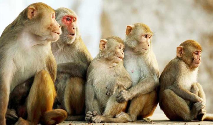 Himachal की इन तहसीलों और उपतहसीलों में बंदरों को मारने की मिली अनुमति
