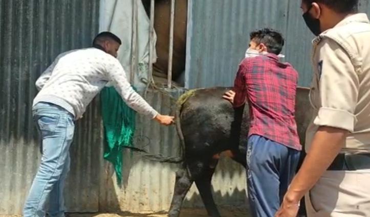 सोलन में नेपाली युवक ने पेट्रोल डालकर बैल को लगा दी आग, FIR