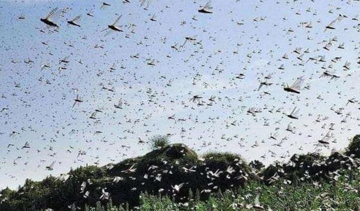 टिड्डी दल के हमले से बचने के लिए करें ऐसा, Agriculture Department ने जारी की एडवाइजरी
