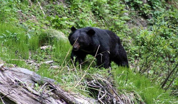 चम्बा: भालू के हमले में एक और घायल, दूसरे घायल ने तोड़ा दम