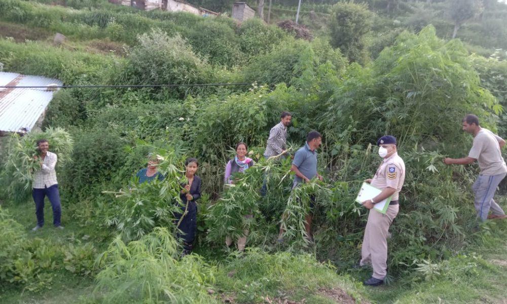 राजगढ़ में भांग का सफाया