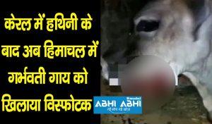 केरल में हथिनी के बाद अब हिमाचल में गर्भवती गाय को खिलाया विस्फोटक