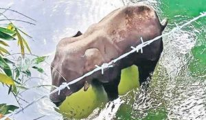 हैवानियत: पटाखों से भरा अनानास खिलाए जाने के बाद Kerala में Pregnant हथिनी की मौत