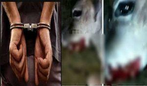 Bilaspur: विस्फोटक से गर्भवती गाय को घायल करने वाला आरोपी Arrest