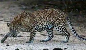 Kullu: बगीचे में घास काट रही महिला पर तेंदुए ने किया हमला, डर के साए में ग्रामीण