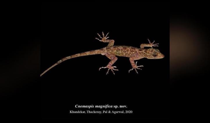 उद्धव ठाकरे के बेटे तेजस की Team ने खोजी छिपकली की एक नई प्रजाति; पहले खोजा था 'ठाकरे कैट स्नैक'