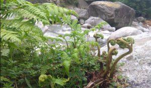 हिमाचल में उगती है एक ऐसी सब्जी जिसमें मिलते हैं Vitamin A-B complex, आयरन व Fatty एसिड