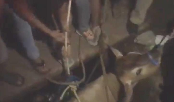 नाले में गिरी गाय को बचाने एक घंटे चला Rescue operation, निकाली सुरक्षित