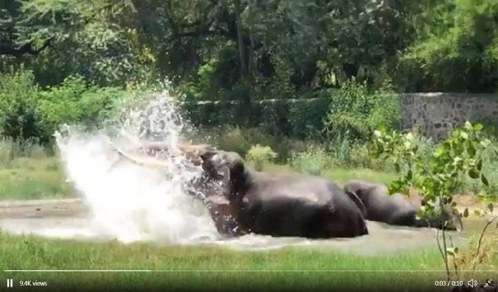 Viral Video : गर्मी में तरोताजा होने पूल में कूदे दो हाथी, मस्त होकर नहाते रहे, एक-दूसरे पर उछाला पानी