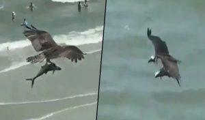 Video: Shark को पंजे में दबोचकर उड़ा 'विशालकाय' पक्षी, हर कोई देखकर हुआ हैरान